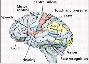 Brain and five Senses